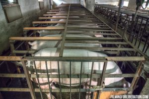 Sows in crates - Factory Farming