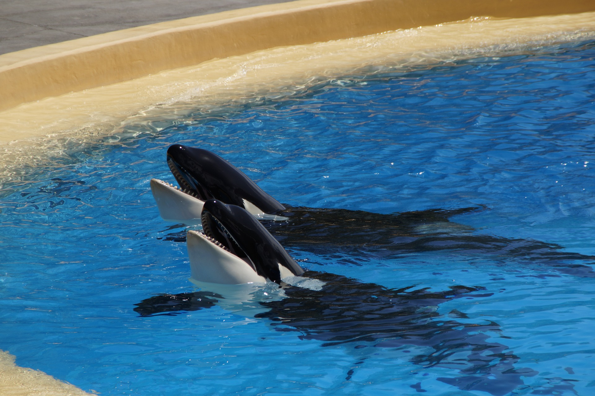 Orca whales in tank